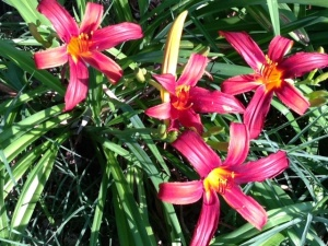 Day Lilies at Carondelet Pottery